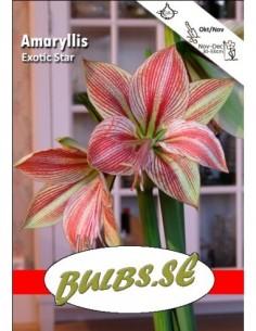 Exotic Star - Amaryllis Enkel