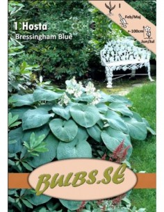 Hosta - Bressingham Blue