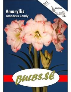 Amadeus Candy - Amaryllis...