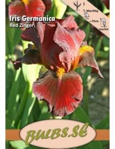 Trädgårdsiris - Red Zinger