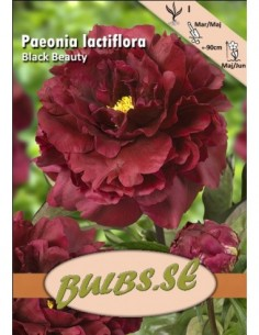 Paeonia Black Beauty