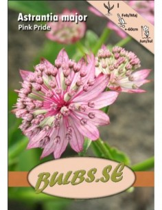 Isotähtiputki Pink Pride