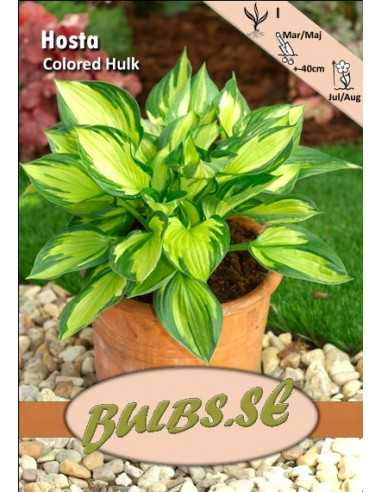 Colored Hulk - Hosta