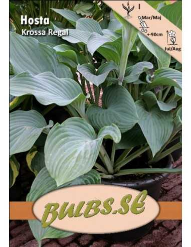 Hosta Krossa Regal