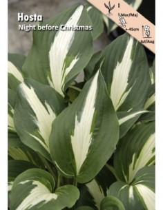 Hosta - Night before Christmas