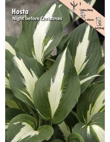 Night before Christmas - Hosta