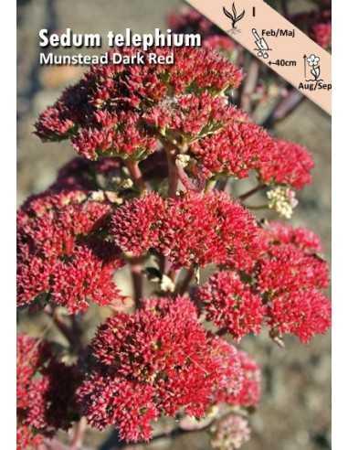 Munstead Dark Red - Kärleksört