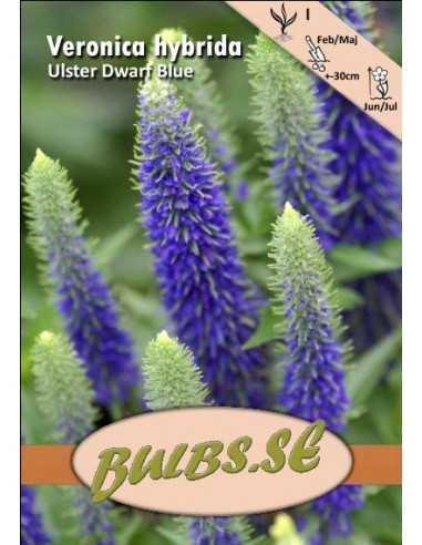 Ulster Dwarf Blue - Axveronika