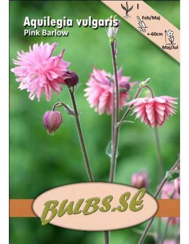 Akleja - Pink Barlow