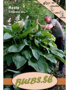 Hosta Empress Wu ®