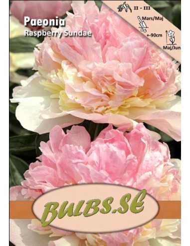 Paeonia Raspberry Sundae