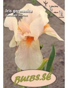 Iris Constant Wattez