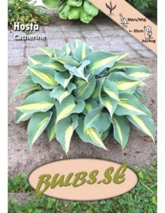 Hosta - Catherine