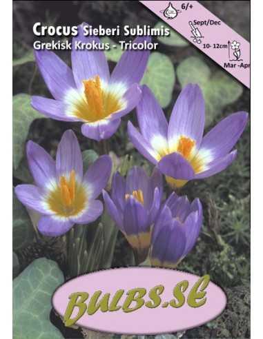 Tricolor Grekisk Krokus