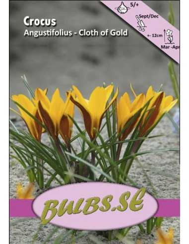 Cloth of Gold - Strimkrokus