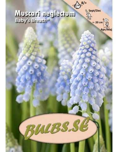 Baby's Breath® - Mörk Pärlhyacint