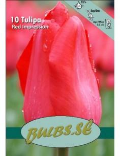 Red Impression - Tulpan Darwin