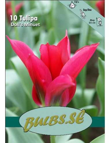 Doll's Minuet - Tulpan Viridiflora