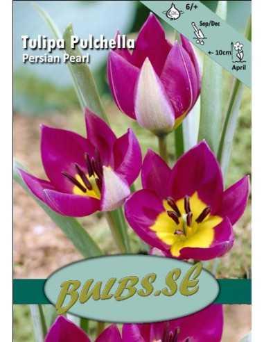 Pulchella Persian Pearl
