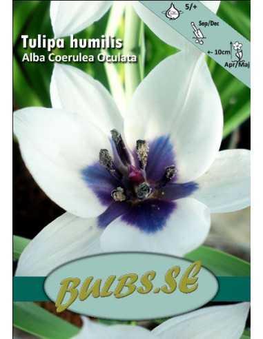 Alba Coerulea Oculata Violtulpan -...
