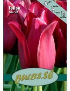 Merlot - Tulpan Liljeblommande