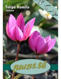 Helene - Tulpan Botanisk