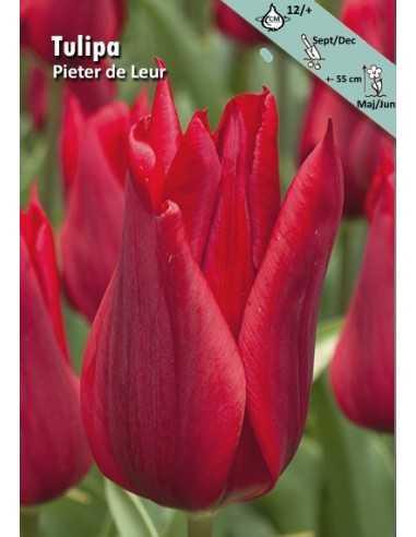 Pieter de Leur - Tulpan Liljeblommande