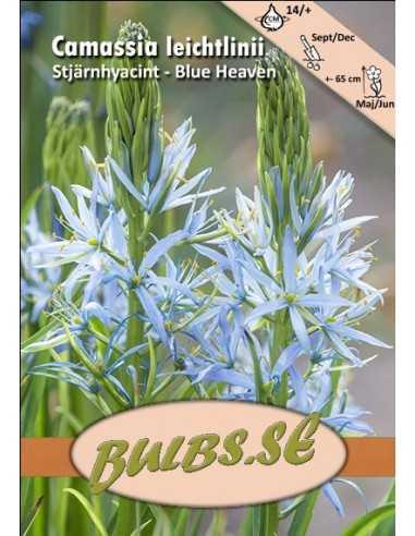 Blue Heaven - Mörk Stjärnhyacint