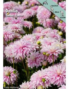 Sweet Tiamo - Dahlia Dekorativ