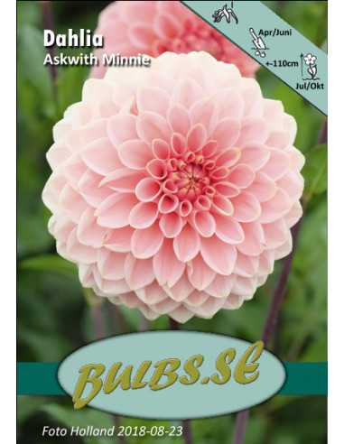 Askwith Minnie - Dahlia Boll