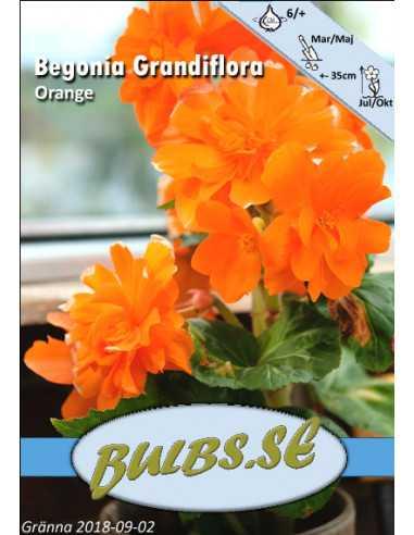 Mukulabegonia - kerrannainen oranssi
