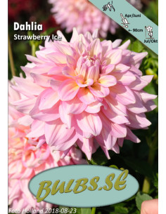 Strawberry Ice - Dahlia...