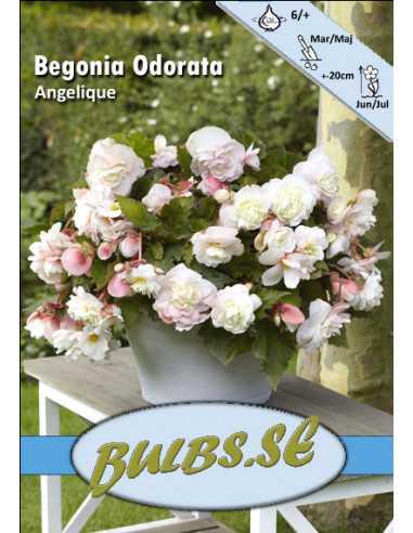 Riippubegonia Odorata Angelique