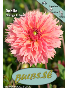 Orange Fubuki - Dahlia Kaktus