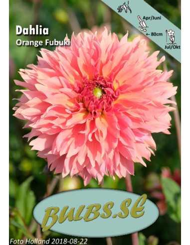 Orange Fubuki - Dahlia Kaktus