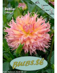 Omega - Dahlia Kaktus