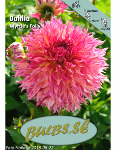 Myrtle's Folly - Dahlia Kaktus