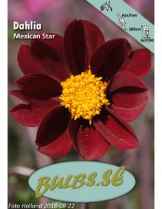 Mexican Star - Dahlia Enkel