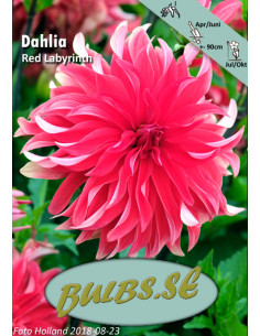 Red Labyrinth - Dahlia...