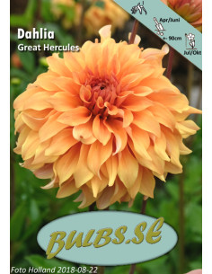 Great Hercules - Dahlia...