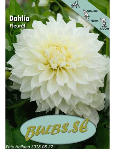 Fleurel® - Dahlia Dekorativ Jätte