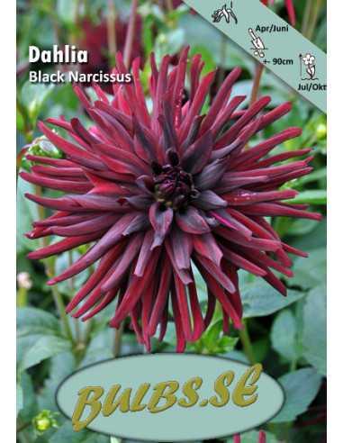 Black Narcissus - Dahlia Kaktus