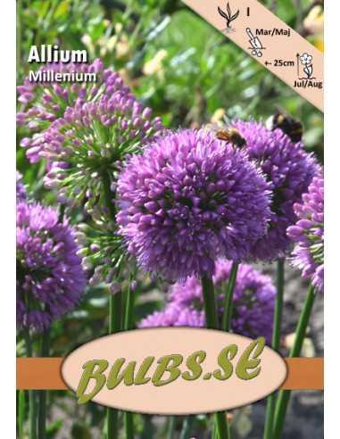 Trädgårdskantlök Allium millenium