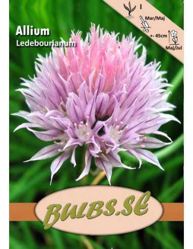 Laukka Allium ledebourianum