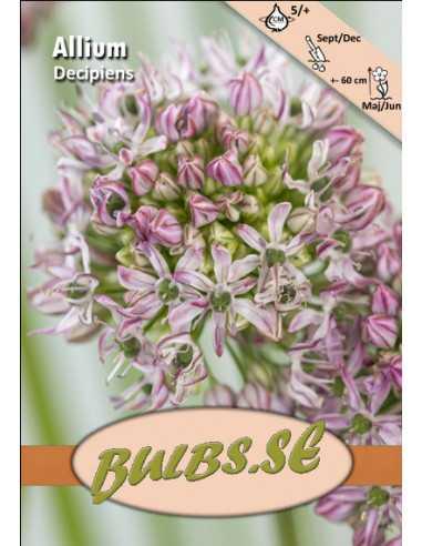 Decipiens - Allium