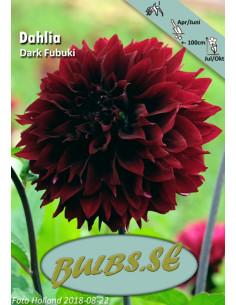 Dark Fubuki - Dahlia Kaktus