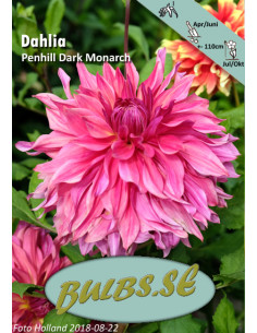Penhill Dark Monarch