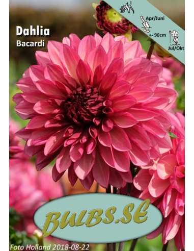 Bacardi - Dahlia Dekorativ