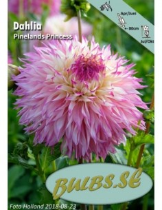 Pinelands Princess - Dahlia...