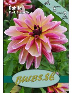 Dark Butterfly - Dahlia...